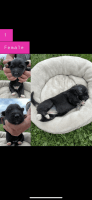 German Shepherd Puppies for sale in Molalla, OR 97038, USA. price: NA