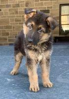 German Shepherd Puppies for sale in 3070 Los Feliz Blvd, Los Angeles, CA 90039, USA. price: NA