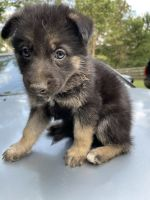 German Shepherd Puppies for sale in Hockley, TX 77447, USA. price: NA