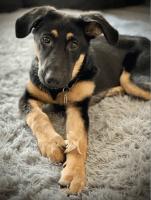 German Shepherd Puppies for sale in Davenport, FL, USA. price: NA