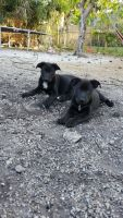 German Shepherd Puppies for sale in Fort Lauderdale, FL, USA. price: NA