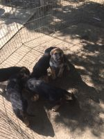 German Shepherd Puppies for sale in Visalia, CA, USA. price: NA