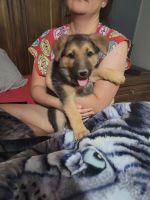 German Shepherd Puppies for sale in Buckeye, AZ 85396, USA. price: NA