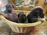German Shepherd Puppies for sale in Lincoln, TX 78948, USA. price: NA