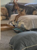 German Shepherd Puppies for sale in Brookfield, IL, USA. price: NA
