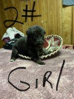 German Shepherd Puppies for sale in Tucson, AZ, USA. price: NA