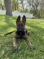 German Shepherd Puppies for sale in St Charles, MO, USA. price: NA