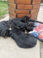 German Shepherd Puppies for sale in Greenville, SC, USA. price: NA