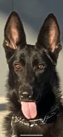 German Shepherd Puppies for sale in Apopka, FL, USA. price: NA