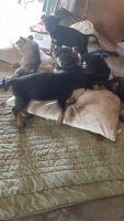 German Shepherd Puppies for sale in Mohawk, TN 37810, USA. price: NA