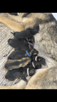 German Shepherd Puppies for sale in Hamilton, IN 46742, USA. price: NA