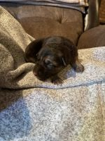 German Shepherd Puppies for sale in Fort Ashby, WV 26719, USA. price: NA