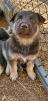 German Shepherd Puppies for sale in Merced, CA, USA. price: NA