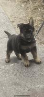 German Shepherd Puppies for sale in Williamstown, Monroe, NJ 08094, USA. price: NA