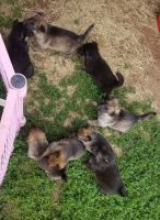 German Shepherd Puppies for sale in Guthrie, OK, USA. price: NA