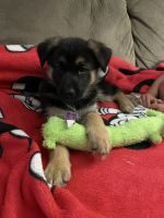 German Shepherd Puppies for sale in Katy, TX, USA. price: NA