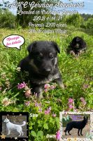 German Shepherd Puppies for sale in Crandall, GA 30711, USA. price: NA