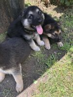 German Shepherd Puppies for sale in Burleson, TX, USA. price: NA