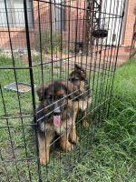 German Shepherd Puppies for sale in San Antonio, TX 78230, USA. price: NA