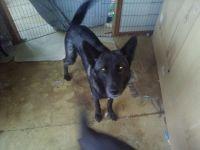 German Shepherd Puppies for sale in Walton, IN 46994, USA. price: NA