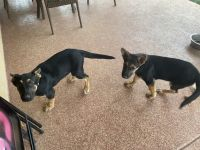 German Shepherd Puppies for sale in Kyle, TX, USA. price: NA