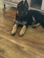 German Shepherd Puppies for sale in Fort Stewart, GA 31315, USA. price: NA