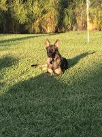 German Shepherd Puppies for sale in Port St. Lucie, FL 34953, USA. price: NA
