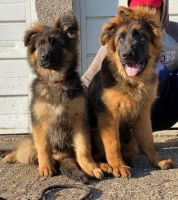 German Shepherd Puppies for sale in Indianapolis, IN, USA. price: NA