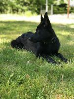 German Shepherd Puppies for sale in Lancaster, PA, USA. price: NA