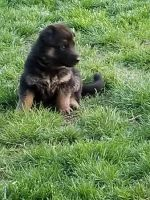 German Shepherd Puppies for sale in Hicksville, OH 43526, USA. price: NA