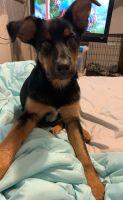 German Shepherd Puppies for sale in Algona, IA 50511, USA. price: NA
