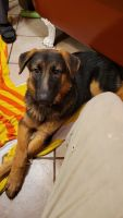 German Shepherd Puppies for sale in Bessemer, AL, USA. price: NA