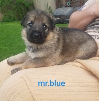 German Shepherd Puppies for sale in Pleasant Prairie, WI, USA. price: NA