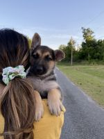 German Shepherd Puppies for sale in Albany, GA, USA. price: NA