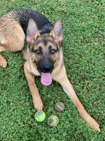 German Shepherd Puppies for sale in Houston, TX 77082, USA. price: NA