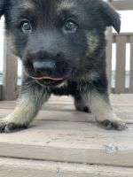 German Shepherd Puppies for sale in Montgomery, MN 56069, USA. price: NA