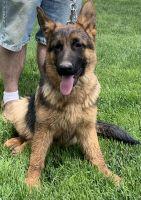 German Shepherd Puppies for sale in Pueblo West, CO, USA. price: NA