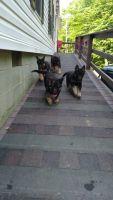 German Shepherd Puppies for sale in Prestonsburg, KY 41653, USA. price: NA