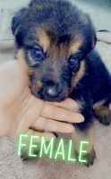 German Shepherd Puppies for sale in Dallas, TX 75217, USA. price: NA