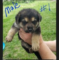 German Shepherd Puppies for sale in Fremont, NE 68025, USA. price: NA