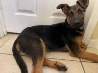 German Shepherd Puppies for sale in Santa Ana, CA, USA. price: NA