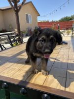 German Shepherd Puppies for sale in 39044 163rd St E, Palmdale, CA 93591, USA. price: NA