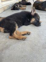 German Shepherd Puppies for sale in San Jacinto, CA, USA. price: NA