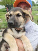 German Shepherd Puppies for sale in Garden Grove, IA 50103, USA. price: NA