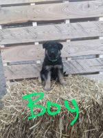 German Shepherd Puppies for sale in Albany, MN 56307, USA. price: NA
