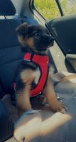 German Shepherd Puppies for sale in Sunrise Ridge Pl, Powell, OH 43065, USA. price: NA
