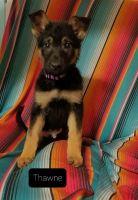 German Shepherd Puppies for sale in Washburn, MO 65772, USA. price: NA