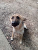 German Shepherd Puppies for sale in Memphis, TN, USA. price: NA