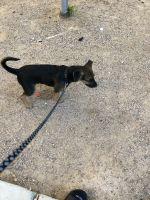 German Shepherd Puppies for sale in North Las Vegas, NV 89030, USA. price: NA