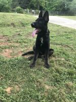 German Shepherd Puppies for sale in Honea Path, SC 29654, USA. price: NA